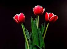 Crimson tulpan royaltyfri foto