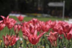 Crimson tulpan royaltyfria bilder