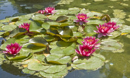 Crimson water lily Stock Image