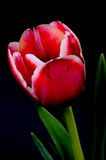 Crimson and White Tulip Royalty Free Stock Photos