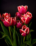 Crimson and White Tulips Royalty Free Stock Photo