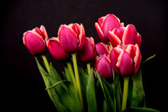 Crimson and White Tulips Royalty Free Stock Photos