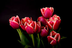 Crimson and White Tulips Stock Photo