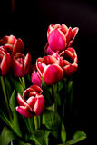 Crimson and White Tulips Royalty Free Stock Image