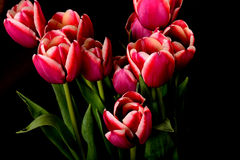 Crimson and White Tulips Royalty Free Stock Photography