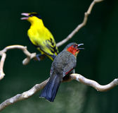 Crimson-winged Liocichla Royalty Free Stock Photo