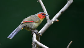 Crimson-winged Liocichla Royalty Free Stock Images