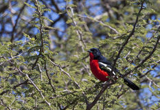 Crimsonbreasted Shrike - Botswana. A Crimsonbreasted Shrike (Laniarius atrococcineus) in the Savuti region of Northern Botswana Royalty Free Stock Photo