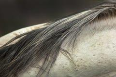 Crine di cavallo Fotografie Stock Libere da Diritti