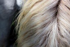 Crinière blanche Photo libre de droits