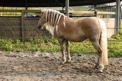Criniera intrecciata del cavallo - cavallo biondo della criniera con le trecce Fotografie Stock Libere da Diritti