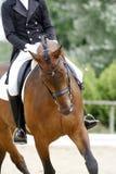 Criniera intrecciata per il cavallo di sport di dressage durante l'addestramento di dressage Fotografia Stock