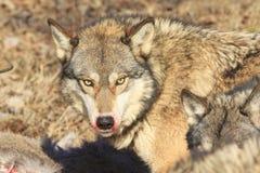 Criniera sanguinosa del lupo Fotografie Stock