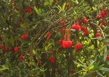 Crinodendron-hookerianum Blume Lizenzfreie Stockfotos