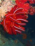 Crinoid Photo libre de droits