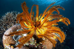 Crinoid coloré sur le récif Photographie stock libre de droits