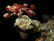 Crinoid on coral outcrop Royalty Free Stock Photography