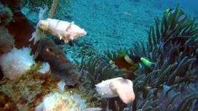 Crinoid cuttlefish Pygmy  in Lembeh strait Indonesia stock footage