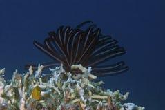 Crinoid die (zeeëgel) bovenop koralen vist Royalty-vrije Stock Foto