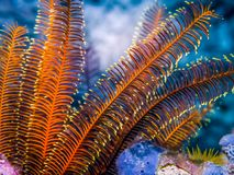 Underwater Crinoid - Feather star on rocks. Marin life of coral reef stock images