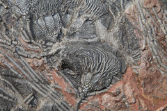 Crinoid Fossil. Millions of years old crinoid fossil Royalty Free Stock Image