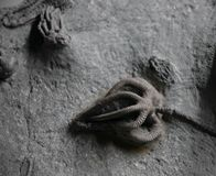 Crinoid fossils. Fossilized crinoid life forms from the Carboniferous period.  Animals that look like plants Stock Image