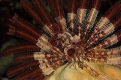 Crinoid - rött hav Arkivfoton