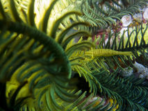 Crinoid shrimp Royalty Free Stock Photo