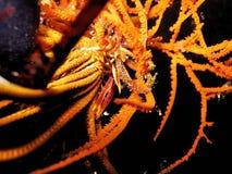 Free Crinoid Squat Lobster Stock Image - 389541