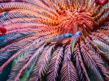 Crinoid subacuático - estrella de pluma con dos pequeños pescados Vida de Marin del arrecife de coral foto de archivo