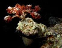 Crinoid sur l'affleurement de corail Photographie stock libre de droits