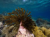 Crinoid Royalty Free Stock Image