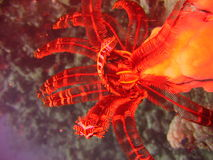 crinoidea水下火的闪光 库存照片