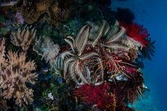 Crinoids vibrant et invertébrés sur le récif Pacifique images libres de droits