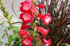 Crinum λουλουδιών Στοκ φωτογραφίες με δικαίωμα ελεύθερης χρήσης