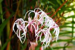 Crinum amabile Donn,Crinum lily flower,Giantlily Royalty Free Stock Image