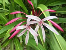 Crinum Amabile Giant Spider Lily. Giant spider lily otherwise known as crinum amabile from the amaryllidaceae family Stock Image