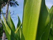 Crinum ascendente fechado Lily Leaf Fotografia de Stock Royalty Free