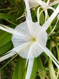 Crinum asiaticum 库存照片