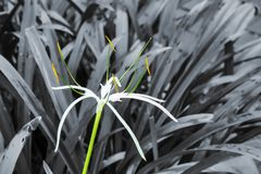 Crinum asiaticum. Or giant crinum lily on a nature black and white background stock photos
