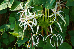 Crinum asiaticum flowers bloom in the early sun. Pure beauty of Crinum asiaticum flowers Stock Images