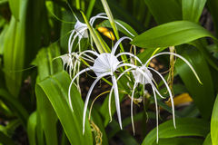 Crinum asiaticum flowers with green leaf Stock Photo