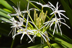 Crinum asiaticum flowers Royalty Free Stock Image