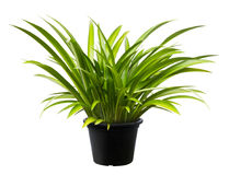 Crinum asiaticum, Green leaf tree plant fresh nature. White background Royalty Free Stock Image