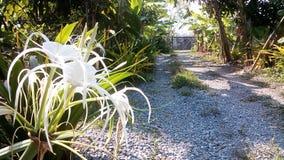 crinum asiaticum L 免版税图库摄影