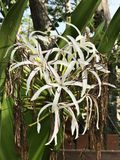 Crinum asiaticum or Poison bulb or Giant crinum lily or Grand crinum lily or Spider lily flowers. Crinum asiaticum or Poison bulb or Giant crinum lily or Grand Stock Photos