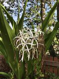 Crinum asiaticum or Poison bulb or Giant crinum lily or Grand crinum lily or Spider lily flowers. Crinum asiaticum or Poison bulb or Giant crinum lily or Grand Royalty Free Stock Image