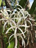 Crinum asiaticum or Poison bulb or Giant crinum lily or Grand crinum lily or Spider lily flowers. Crinum asiaticum or Poison bulb or Giant crinum lily or Grand Royalty Free Stock Images