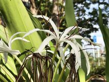 Crinum asiaticum or Poison bulb or Giant crinum lily or Grand crinum lily or Spider lily flowers. Crinum asiaticum or Poison bulb or Giant crinum lily or Grand Royalty Free Stock Photo
