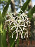 Crinum asiaticum or Poison bulb or Giant crinum lily or Grand crinum lily or Spider lily flowers. Crinum asiaticum or Poison bulb or Giant crinum lily or Grand Stock Images